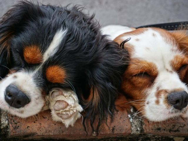 dogs-3178739_1920